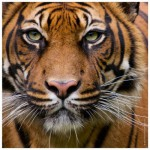 Puzzle  Heye-70173-29632 Edition Weingarten : Tigre
