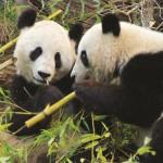 Puzzle  PuzzelMan-736 Pandas