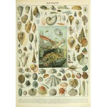 Puzzle  Grafika-00601 Illustration du Nouveau Larousse Illustré : Mollusques , XIXè Siècle