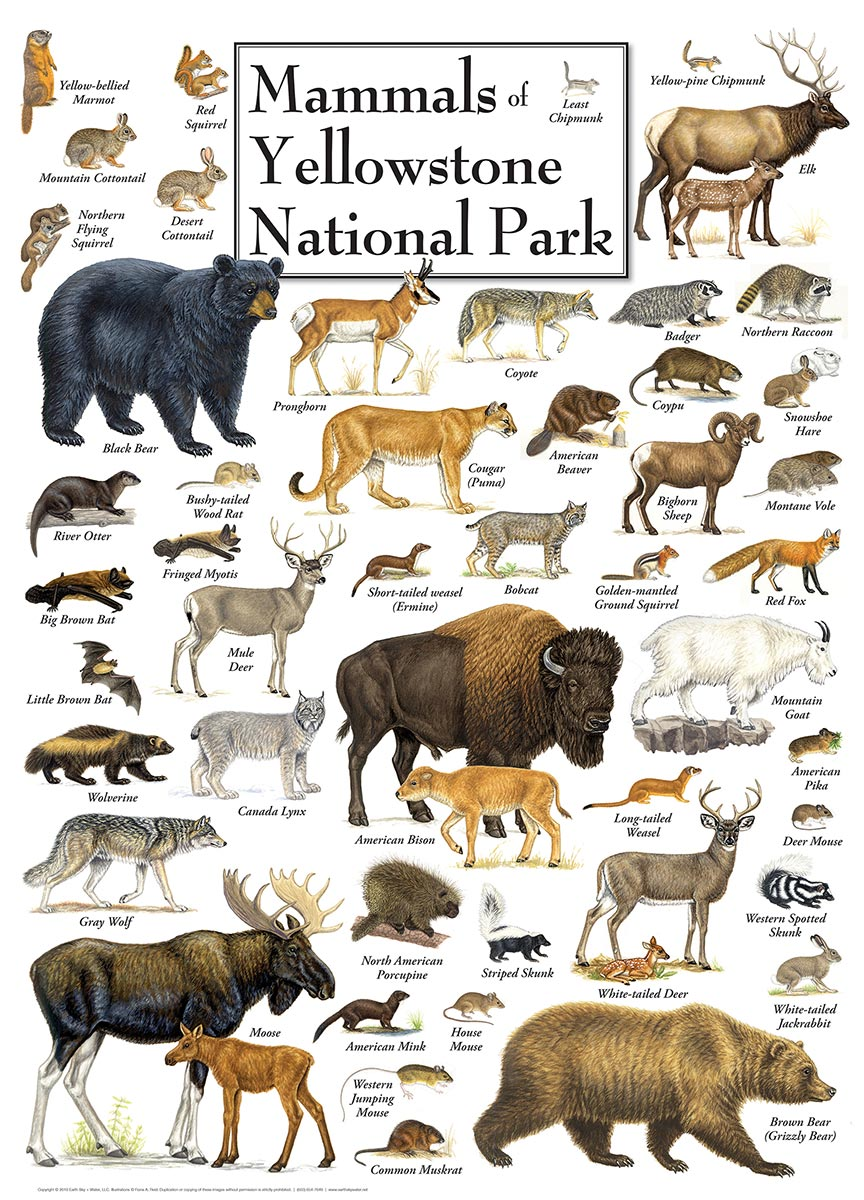 mammals-of-yellowstone-national-park