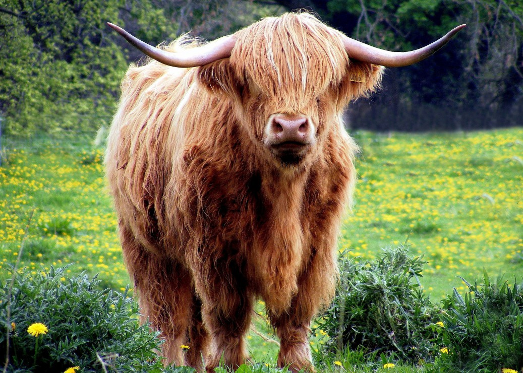 vache-des-highlands