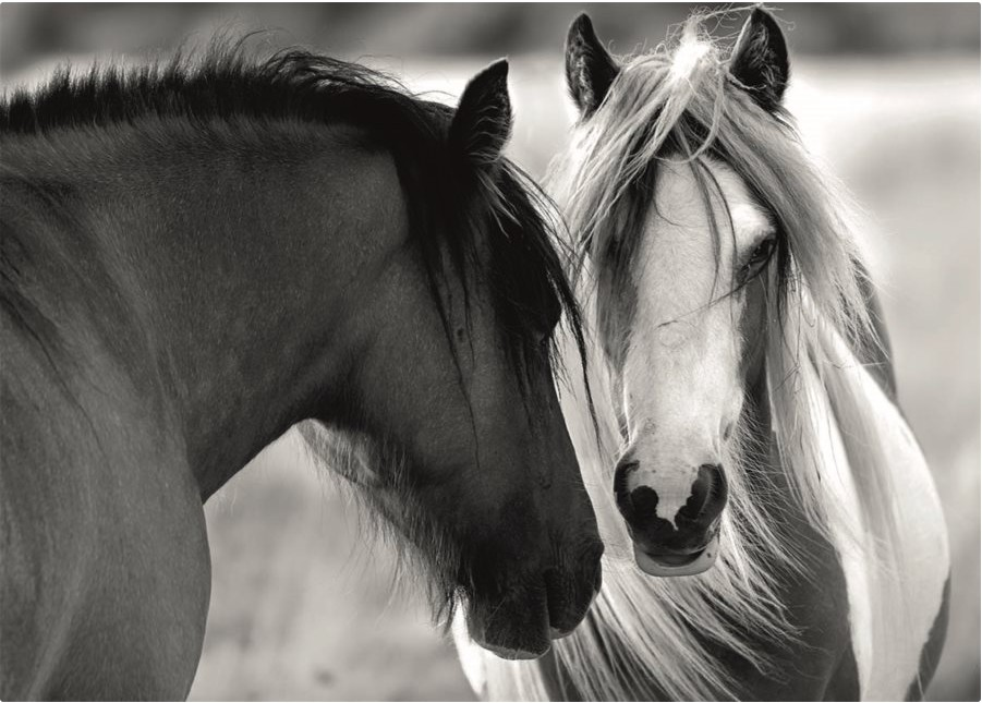 black-and-white-horses