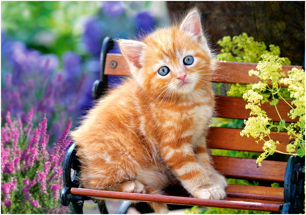 ginger-kitten
