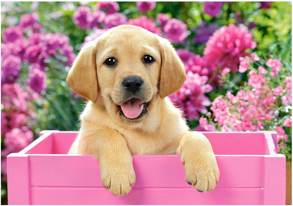 labrador-puppy-in-pink-box