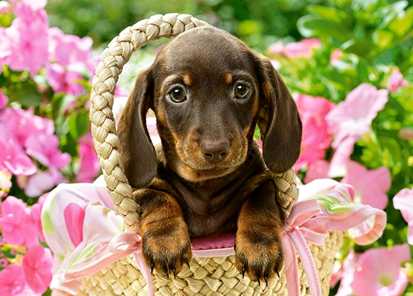 cute-dachshund